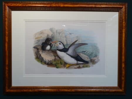 19th century North Atlantic Puffin watercolor lithograph