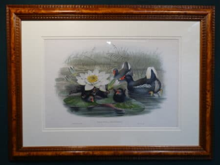 Antique Lithograph over 100 years old of Moorhens family and chicks with water lily.
