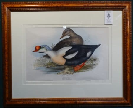 Spectacular antique lithograph of King Duck by John Gould Birds of Great Britain