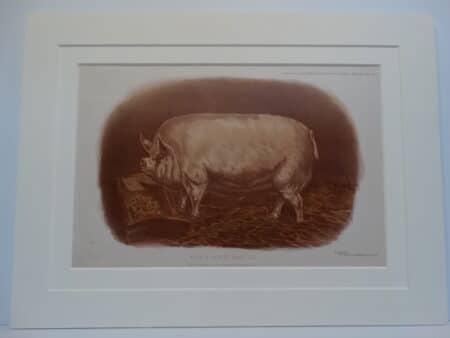 fantastic antique lithograph of a pig