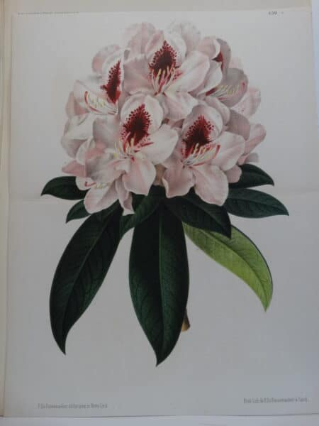 antique lithograph of rhodendron