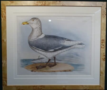 beautiful old lithograph second largest gull
