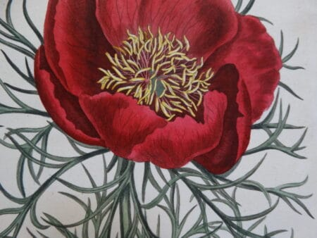 Spectacular Peony Watercolor Artwork from the early 19th century. Artists include such as Samuel & Thomas Curtis, Syndham Edwards, Elizabeth Blackwell, Basil Besler, Louis Van Houtteano, Pierre Joseph Redoute.