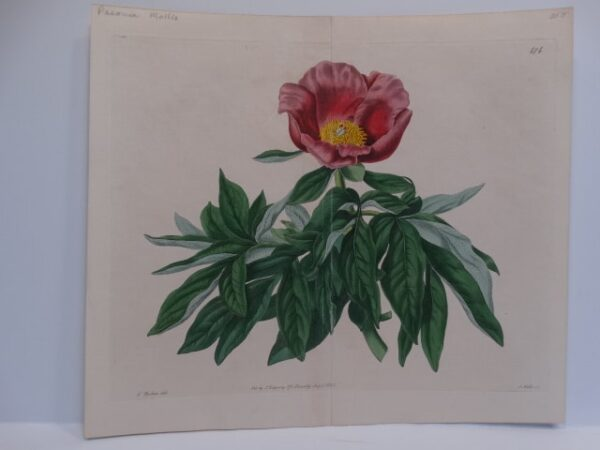 Early 19th century Robert Sweet watercolor engraving for The Botanical Register