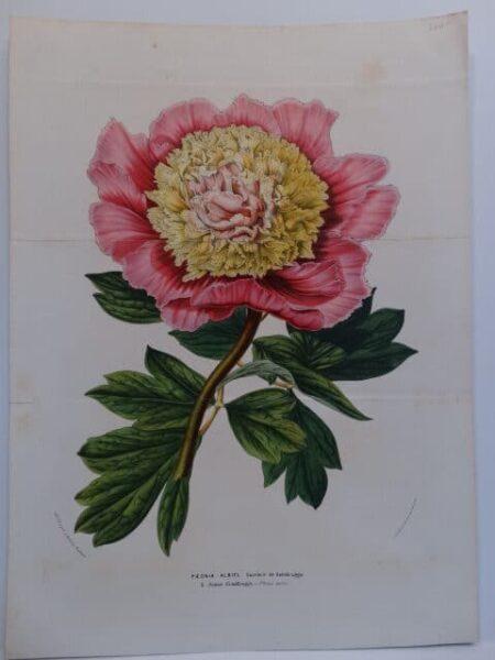 Belgian, antique print, paeonia lithograph for Louis Van Houtteano's Flore des Serres 1845-88.