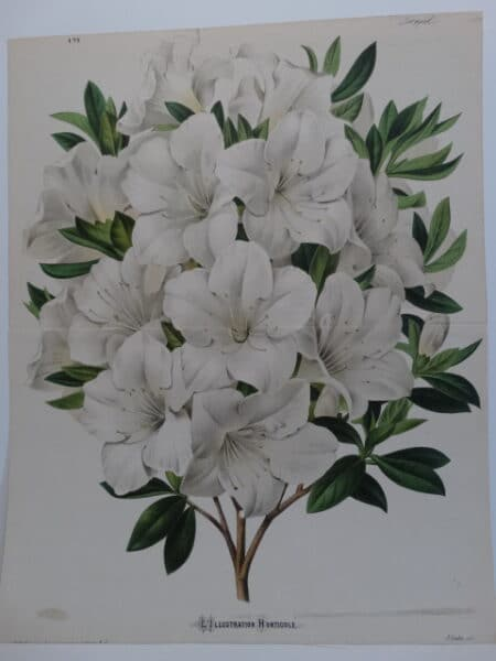 white azalea antique lithograph