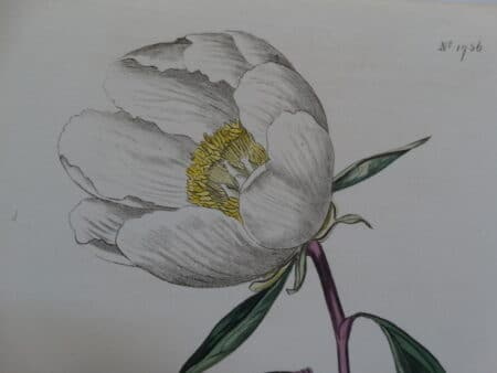 Exquisite detailed early 19th century watercolor engraving of peony