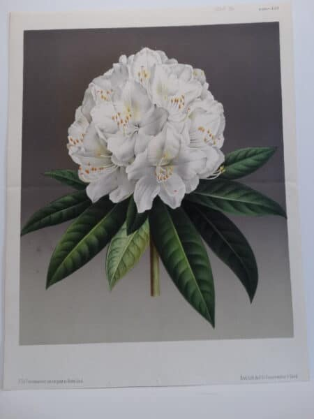 dramatic antique lithograph Rhododendron