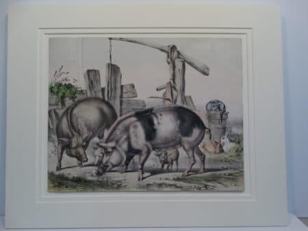 barnyard farm scene common white pigs hogs