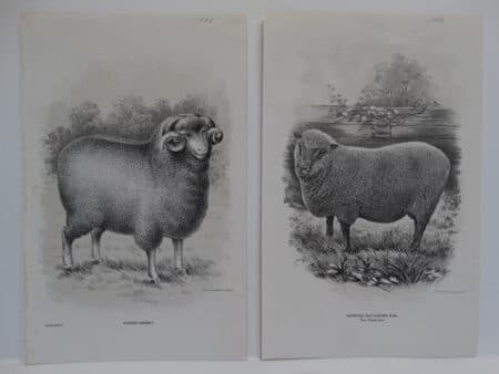 Beautiful antique sheep lithographs  in black and white. About 140 years of age.