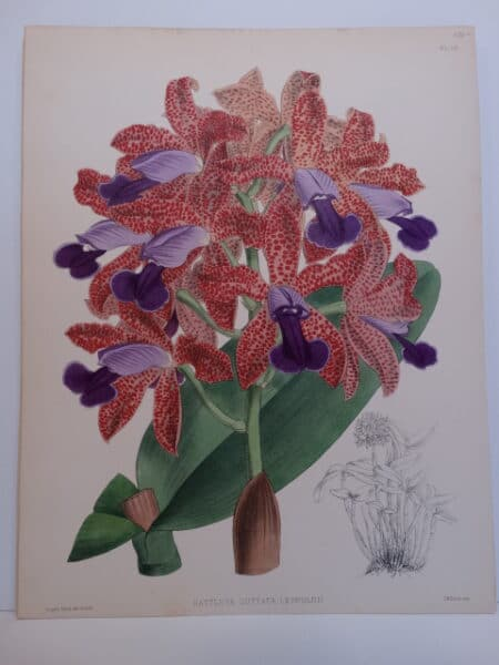 Pink and purple orchids hand-colored lithograph over 100 years old.
