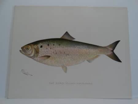 original antique fish print by Sherman Denton of ocean-lake fish of America.