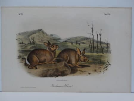 Original hand-colored lithograph of Bachman's hare rabbits. John James Audubon Viparious Quadrupeds of North America 1855.