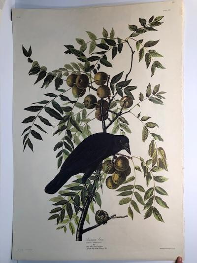 """American Crow from the Amsterdam elephant folio edition of John James Audubon """"Birds of America"""" 1971. Dutch photolithograph, """"Zonen"""" watermark paper, 250 copies published. Paper measures 26 1/4 x 39 1/2."""