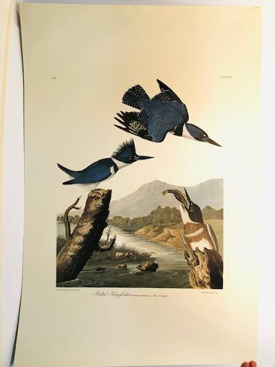 """Belted Kingfishers from the Amsterdam elephant folio edition of John James Audubon """"Birds of America"""" 1971. Dutch photolithograph, """"Zonen"""" watermark paper, 250 copies published. Paper measures 26 1/4 x 39 1/2."""