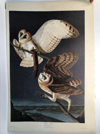 """Barn Owls from the Amsterdam elephant folio edition of John James Audubon """"Birds of America"""" 1971. Dutch photolithograph, """"Zonen"""" watermark paper, 250 copies published. Paper measures 26 1/4 x 39 1/2."""