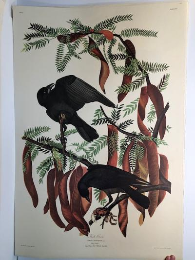 """Fish Crows from the Amsterdam elephant folio edition of John James Audubon """"Birds of America"""" 1971. Dutch photolithograph, """"Zonen"""" watermark paper, 250 copies published. Paper measures 26 1/4 x 39 1/2."""