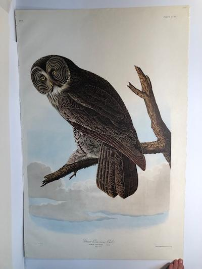 """Great Grey Owl from the Amsterdam elephant folio edition of John James Audubon """"Birds of America"""" 1971. Dutch photolithograph, """"Zonen"""" watermark paper, 250 copies published. Paper measures 26 1/4 x 39 1/2."""