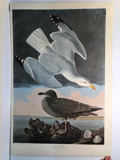 """Herring Gulls from the Amsterdam elephant folio edition of John James Audubon """"Birds of America"""" 1971. Dutch photolithograph, """"Zonen"""" watermark paper, 250 copies published. Paper measures 26 1/4 x 39 1/2."""