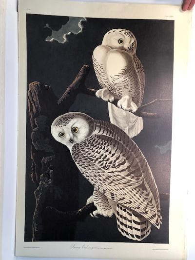 """Snowy Owls from the Amsterdam elephant folio edition of John James Audubon """"Birds of America"""" 1971. Dutch photolithograph, """"Zonen"""" watermark paper, 250 copies published. Paper measures 26 1/4 x 39 1/2."""