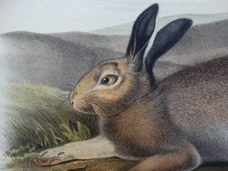 Beautiful originally hand-colored rabbit lithographs & engravings.