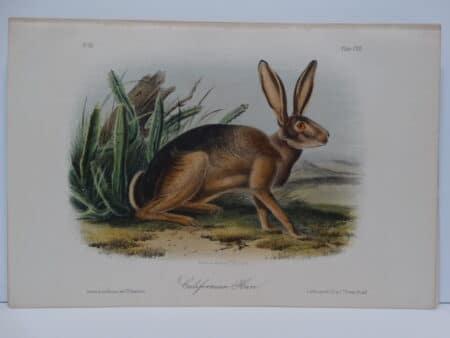 Original hand-colored lithograph of California Hare Rabbit.  John James Audubon Viparious Quadrupeds of North America 1855.