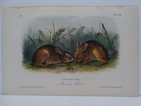Original hand-colored lithograph of Marsh Hare Rabbits. John James Audubon Viparious Quadrupeds of North America 1855.