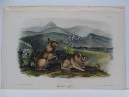 Original hand-colored lithograph of Nuttall's Hare Rabbits. John James Audubon Viparious Quadrupeds of North America 1855.