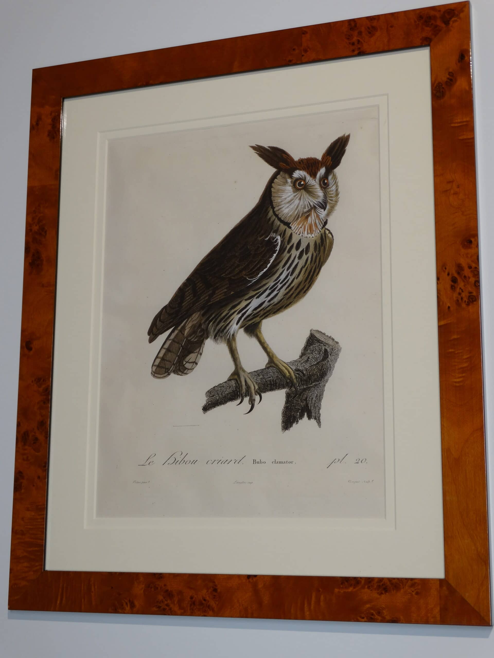Spectacular 18th century hand colored engraving of Eagle Owl.