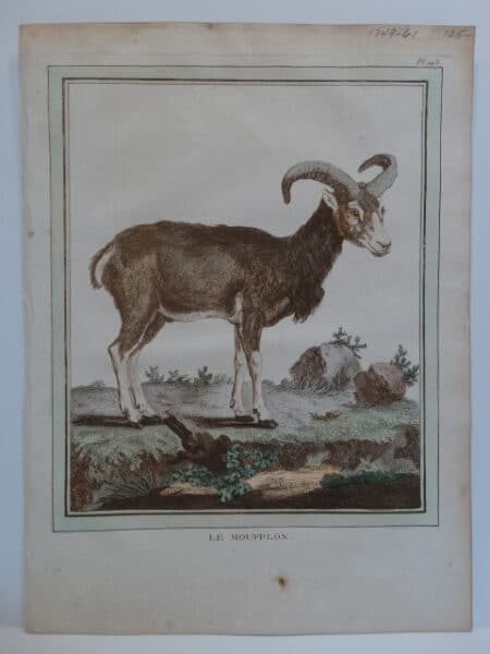 Cows Goats Sheep. Originally water color copper plate 18th century engraving on hand made paper from Compte de Buffon's Histoire Naturelle.