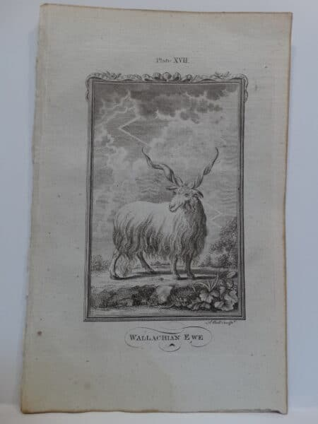 Lightning storm and female ewe sheep horned sheep depicted in this rare edition of Compte de Buffon's work.