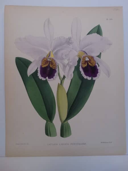 Beautiful lavender purple orchids lithograph from the 1880's.