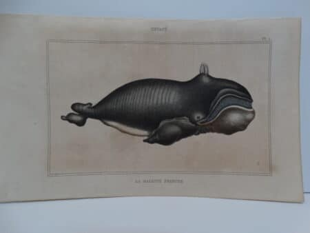 c.1850 French hand-colored engraving of Baleen Whale. Browned paper, good watercolors.