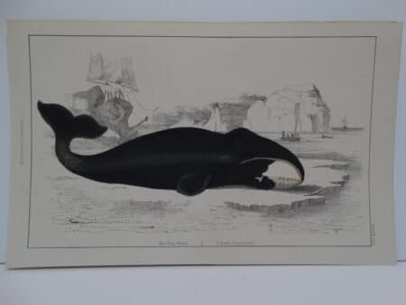 c.1850 Oliver Goldsmith beached bowhead whale, hand-colored engraving of The True Whale published London.