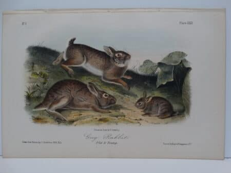 Original hand-colored lithograph of old and young grey rabbits. John James Audubon Viparious Quadrupeds of North America 1855.