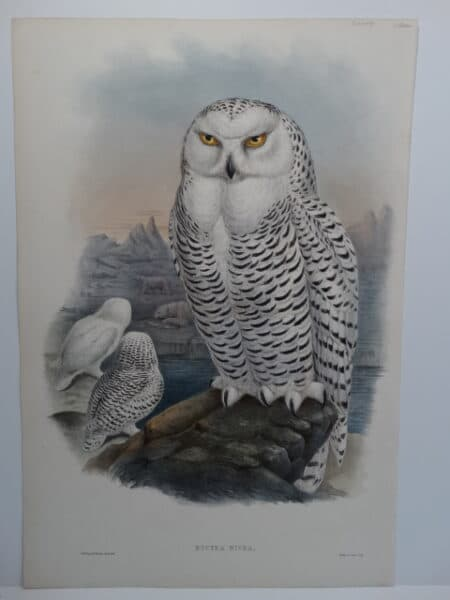 Spectacular original John Gould Snowy Owl antique lithograph sourced from Gould's Birds of Great Britain c.1860.