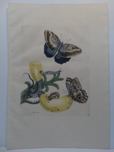Folio 18th century insect prints of butterflies caterpillars