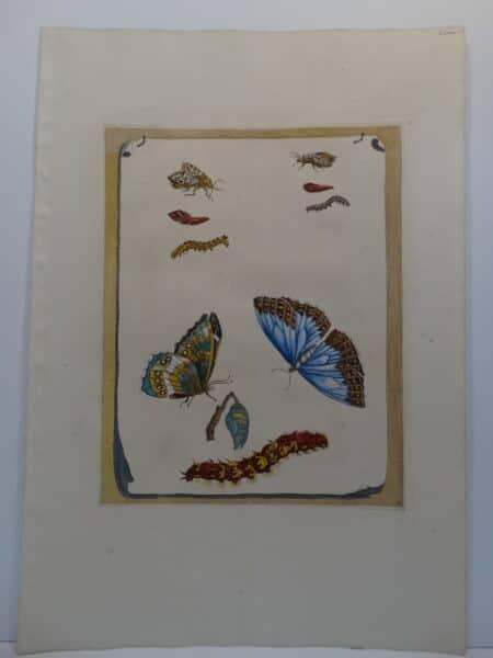 Maria Merian's Metamorphosibus Insectorum Surinamensium