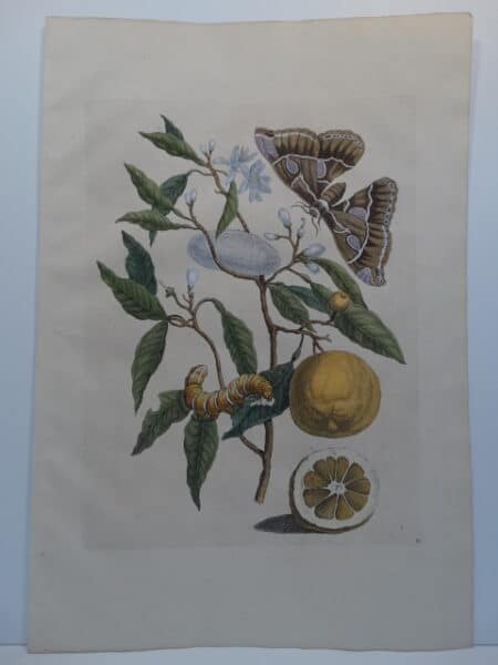 Rare 18th century folio engraving by Merian of Oranges Moth Caterpillar & Cocoon engraving