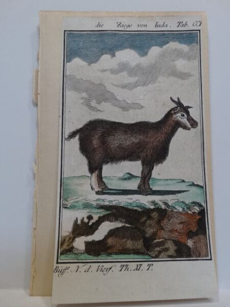 3 1/4 x 6 inch 220 years old watercolor engraving of billy goat.