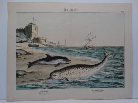 c.1875 German hand finished lithograph by Shubert. Delphinus delphis & Narwhal or Narwhale.