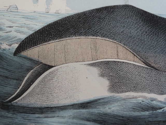 Find values of antique lithographs and hand-colored engravings of whales on our website.