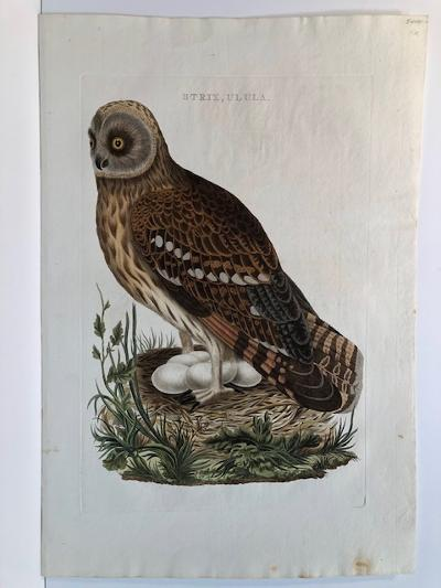Magnificent 200 plus year old hand-colored engraving of the screech owls nest and eggs.
