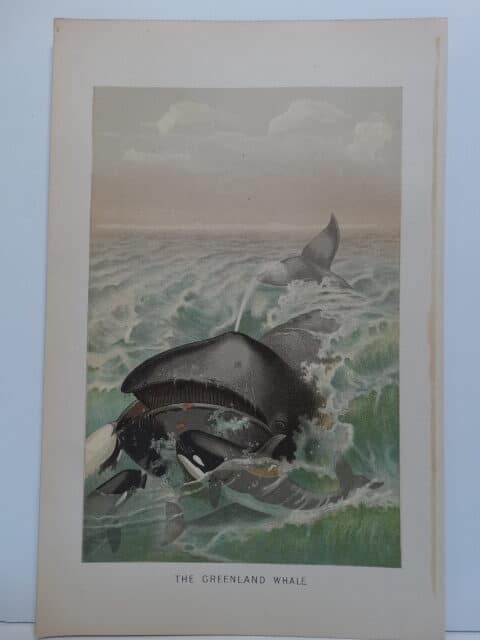 A late 19th century chromolithograph of orca whales attacking a baleen or Greenland whale.