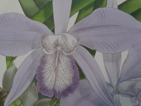 Find valuation of antique lithographs of orchids at Anne Hall Antique Prints.