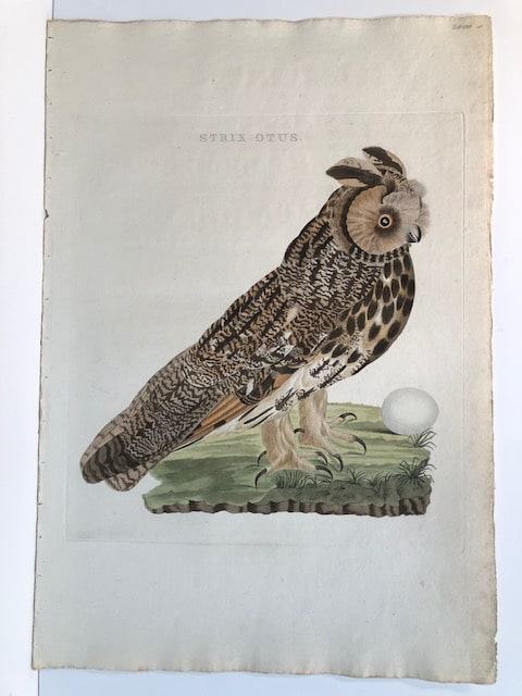 Beautiful 200 year old engraving of long-eared owl and her egg.