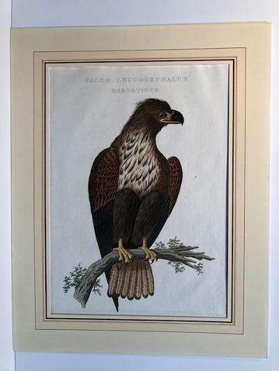 Spectacular, 200-250 year old. hand-colored engraving of young American sea or bald eagle, or Haliaeetus leucocephalus falco, sourced from Nedelandsche Vogelen or the Birds of the Netherlands.