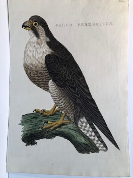 Beautiful large folio engraving with watercolors of a peregrine falcon and is over 200 years old. Buy real antique prints