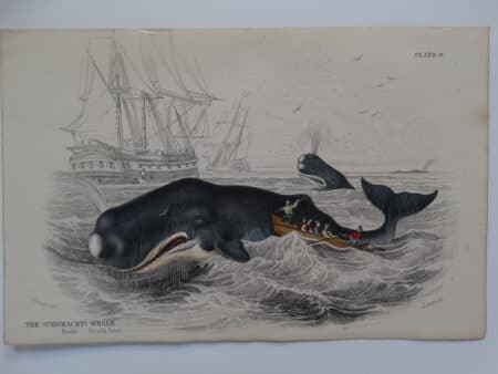 Historic whaling scene from the mid 19th century. Published by Lizars. Hunting toothed whales, men on small boat with harpoons.