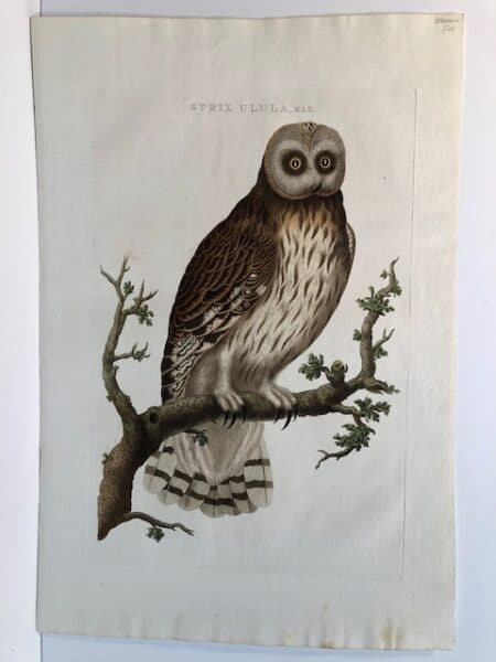 Cornelius Nozeman, Christian Sepp Nederlansch Vogelen, sourced engraving of screech owls.